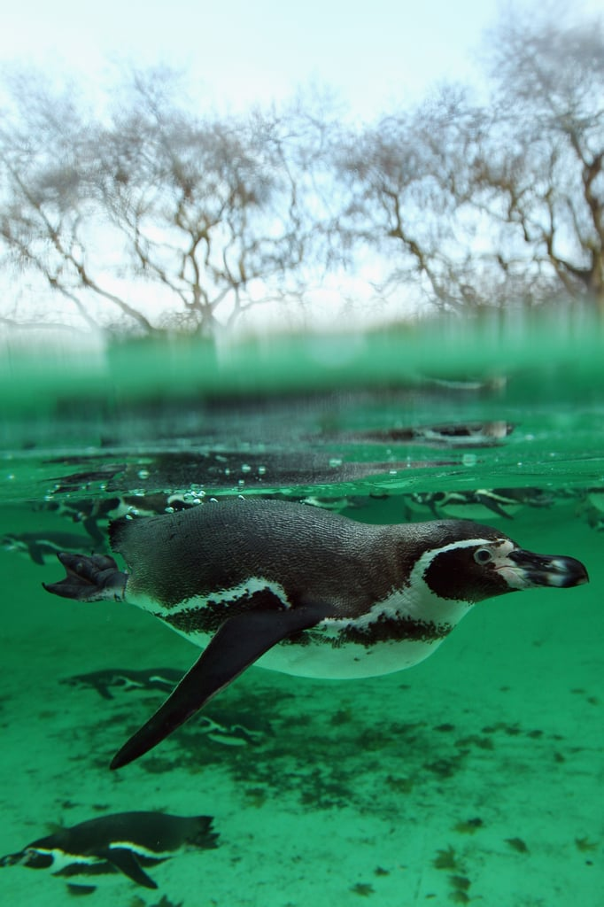 Ahhhh . . . this penguin takes a well-deserved dip after sitting still for the keepers' count.