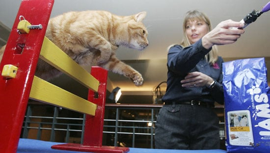 Would Your Agile Cat Compete in Feline Agility?