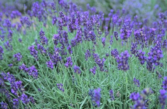 Flowers 101: Lavender
