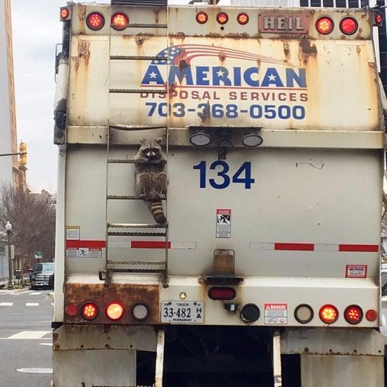 Raccoon Riding on Garbage Truck