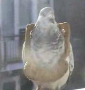 Bird Brain Can't Find Bread