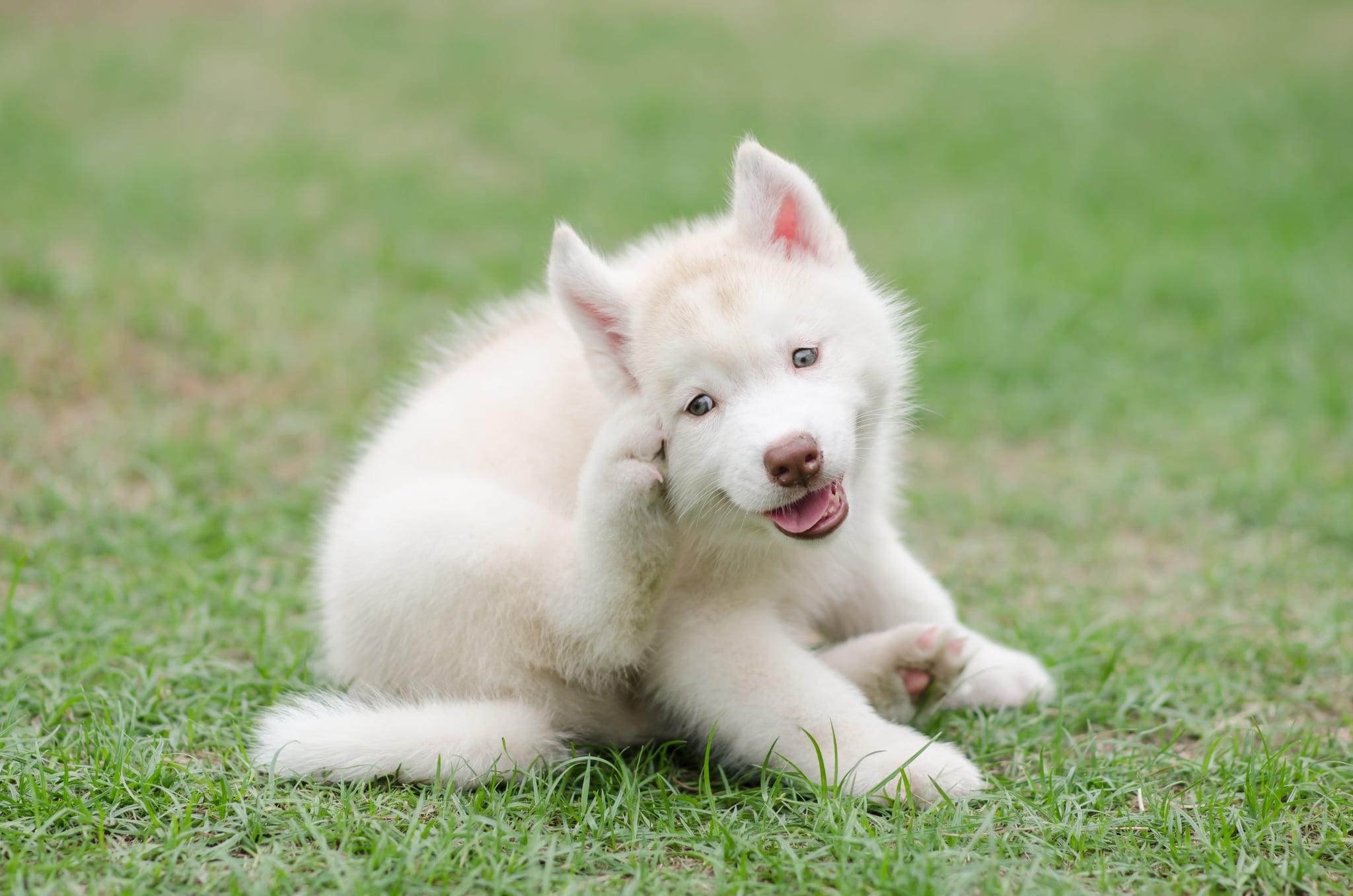Cute siberian husky puppy scratching on green grass