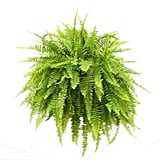 Boston Fern in Hanging Basket ($25)