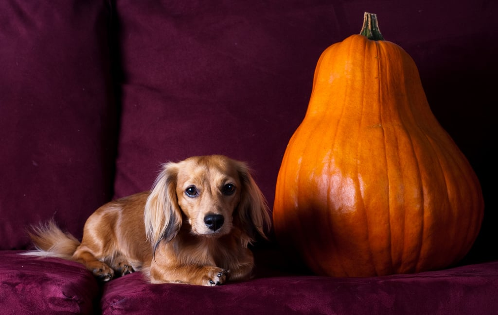 Dignified Dachshund