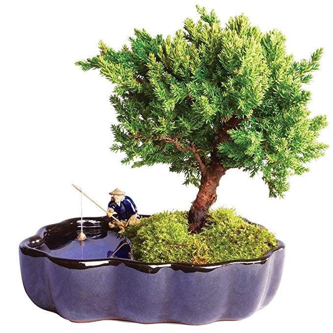 Brussel's Bonsai Live Green Mound Juniper Outdoor Bonsai Tree