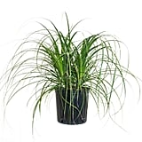 Ponytail Palm Bush Form