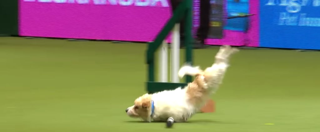 Olly the Jack Russell Terrier Agility at Crufts Video 2017