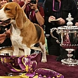 Ch K-Run's Park Me in First, a beagle, won in 2008.