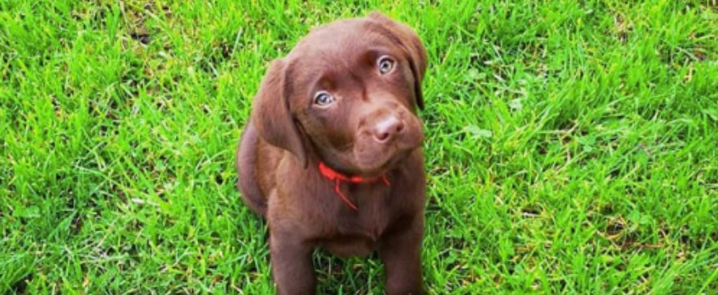 Cute Photos of Labrador Retriever Puppies
