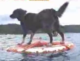 Water Skiing Dog