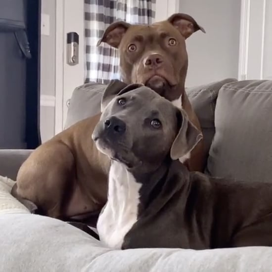 Pit Bull Dogs Listening to a Story on TikTok | Video