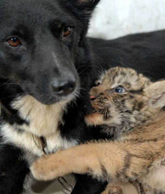 Dog Nurses Lions and Tigers | POPSUGAR Pets