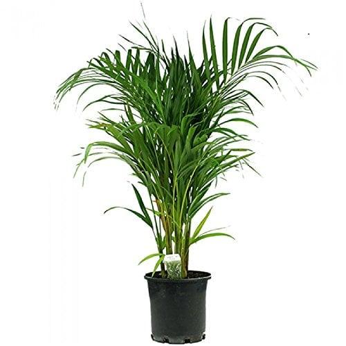 Butterfly Palm Tree