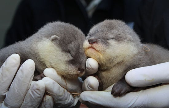 Baby Asian Otters Welcomed to New Zealand Zoo, Baby Zoo Animals