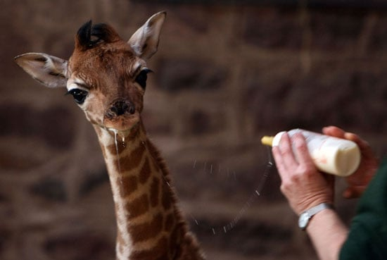Baby Giraffe at Chester Zoo