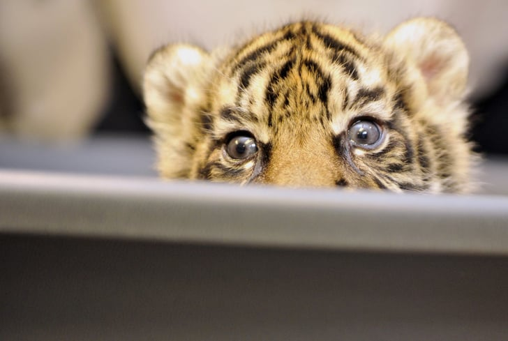 Pictures of Sumatran Tiger Cub