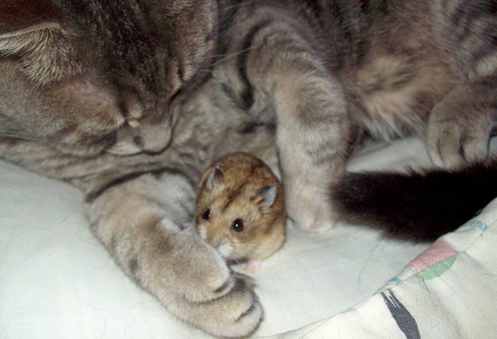 Who says that cats and rodents can't get along? Hamsters are normally just prey to cats, but this pair makes their own rules.  Source: Flickr user Kim's Pics :)