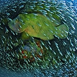 Honorable Mention, Nature: Napoleon Wrasse