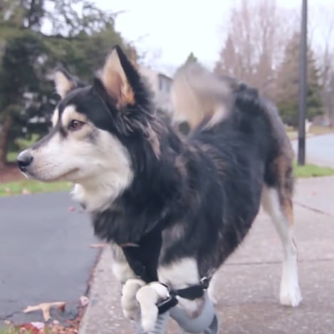Derby the Dog 3D Printed Prosthetics