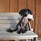 Prince, a Chinese Crested-Poodle Mix