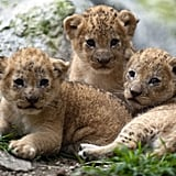 Despite being the kings of the savannah, lions are relatively inactive for 20 hours per day.