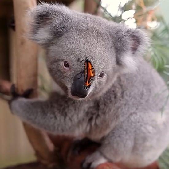 Butterfly Photobombing Koala Shoot at Symbio Wildlife Park