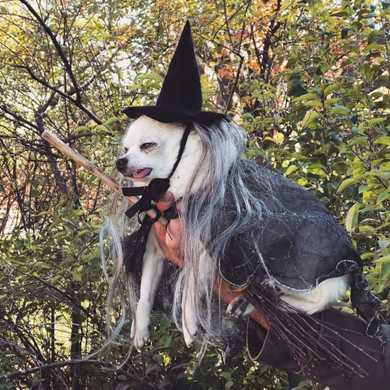 Gizmo the Chihuahua Dog Dressed as a Witch | Video