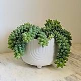Sedum Morganianum Plant