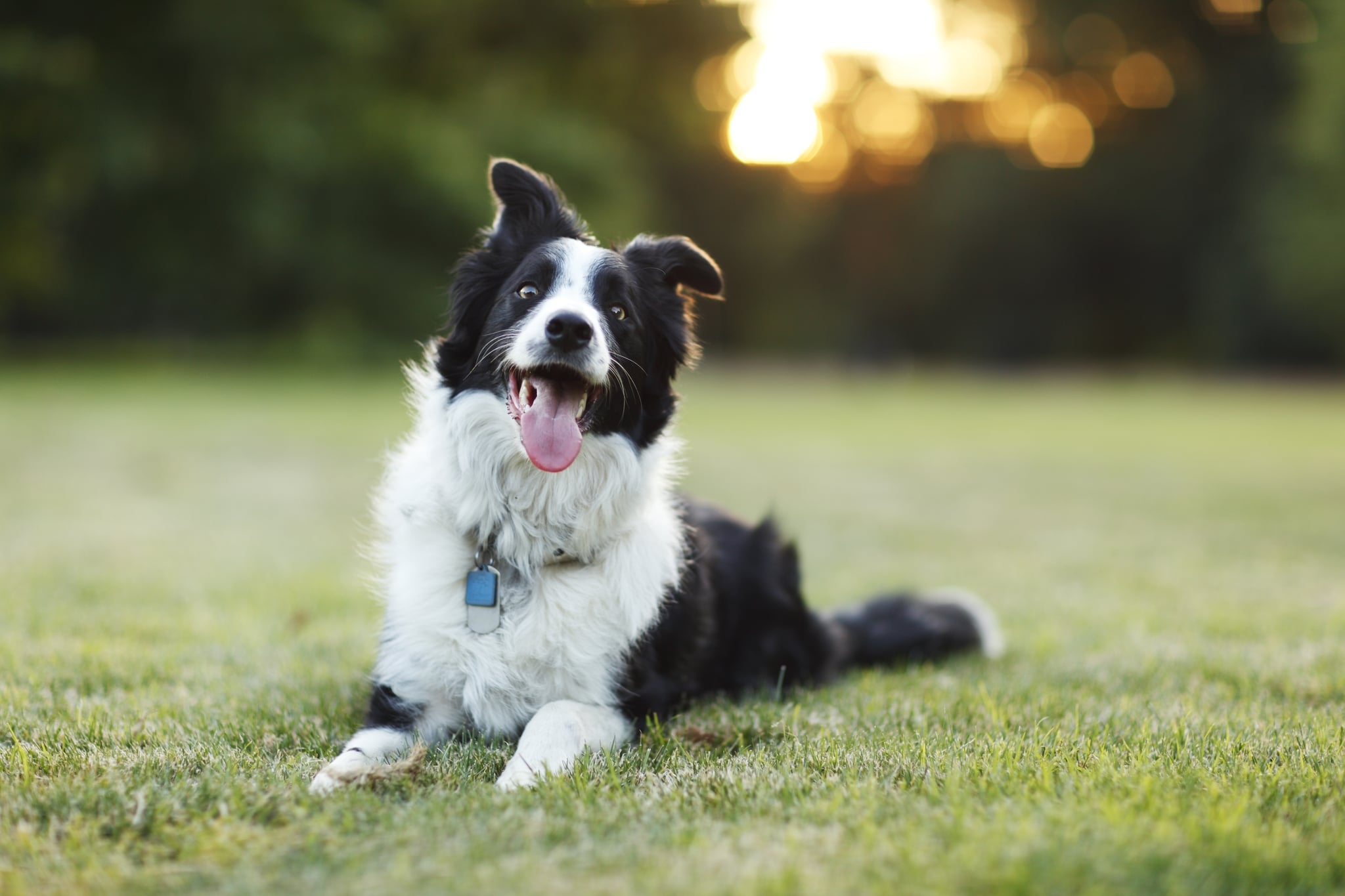 A happy border collie dog lays down on grass with its tongue out outdoors.