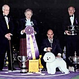 Bichon frise Ch Special Times Just Right won in 2001. Source: American Kennel Club Archives