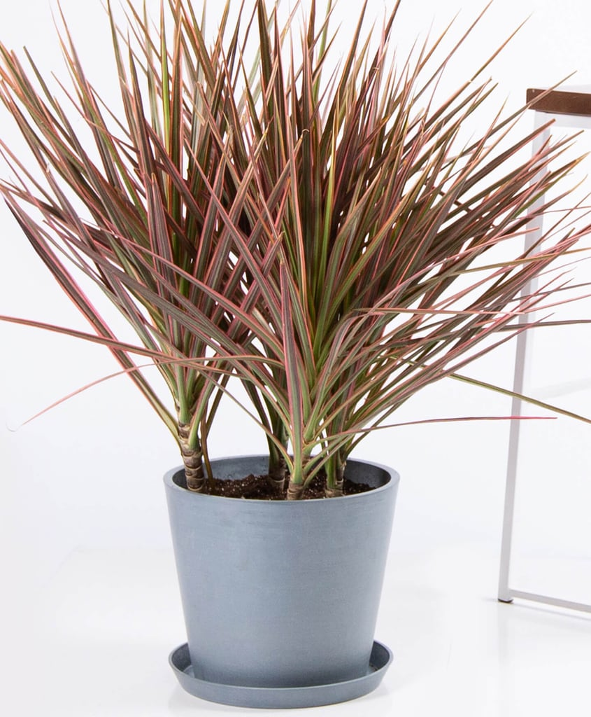 Potted Dracaena Colorama Indoor Plant