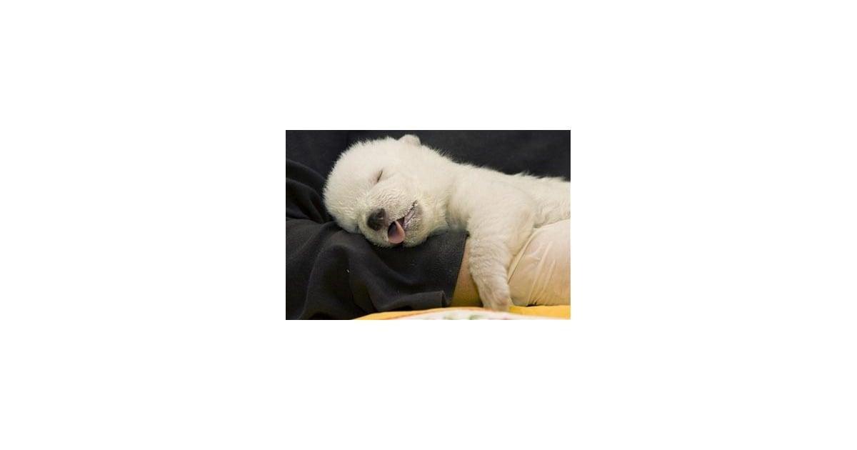 Baby polar bear sleeping - photo#22