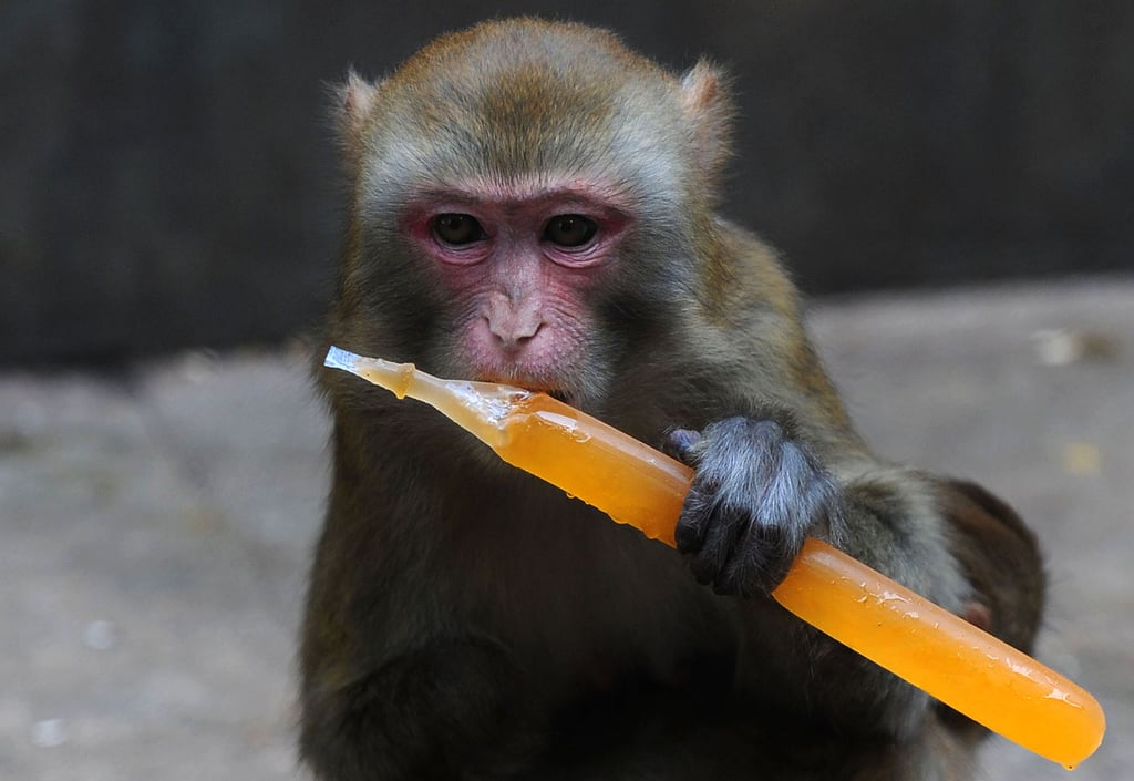 An ice pop is a beat-the-heat treat for a monkey in Hefei, China.