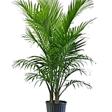 Majesty Palm in Pot ($21)