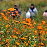 A family picked orange cosmos at the Kasai Rinkai Park in Tokyo, Japan.