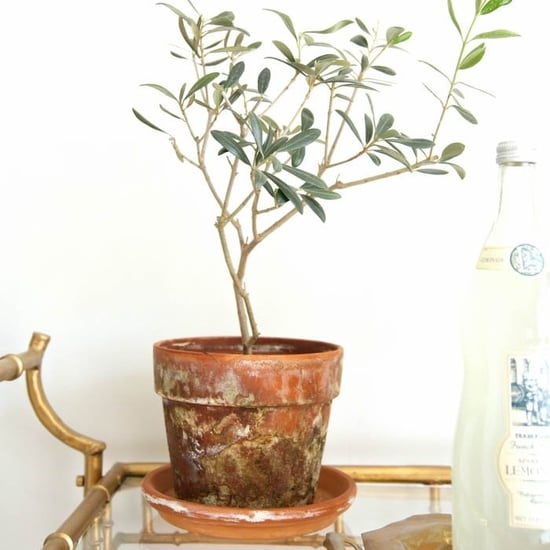 How to Care For Potted Olive Trees
