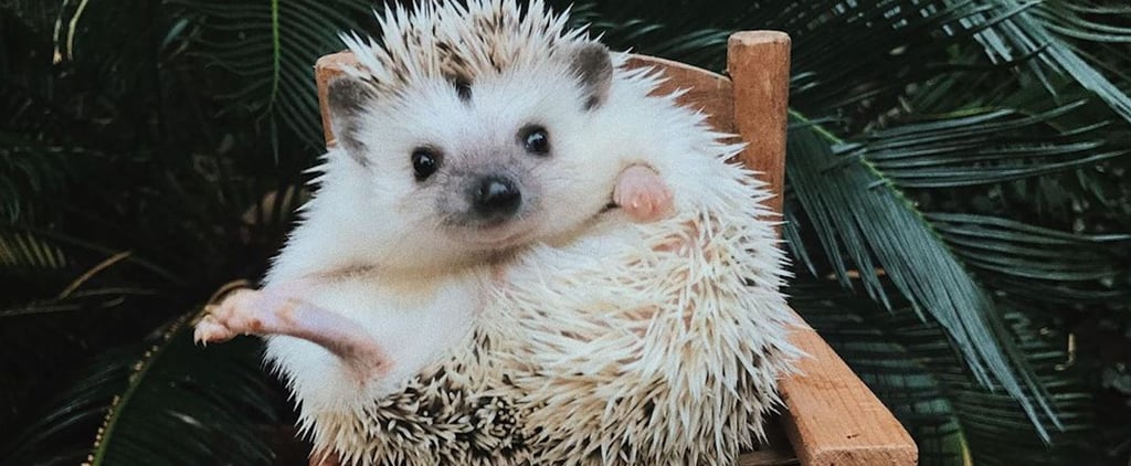 Cute Lionel the Hedgehog Photos