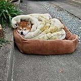 This sleepy Shiba Inu