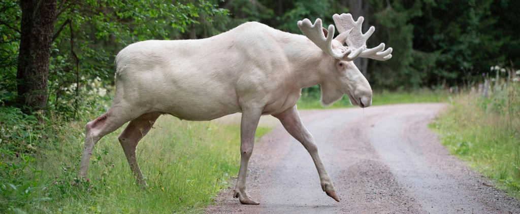 All-White Moose in Sweden