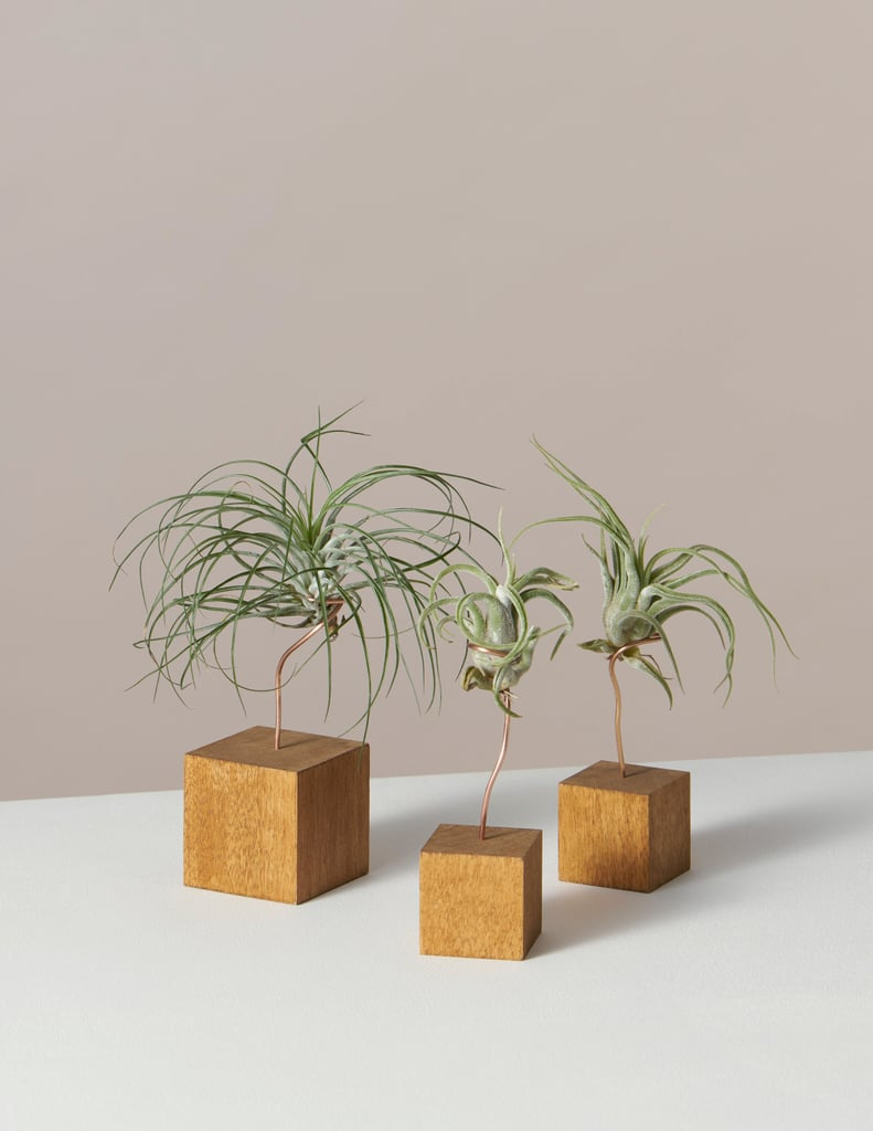 Air Plant Trio in Andes Stands