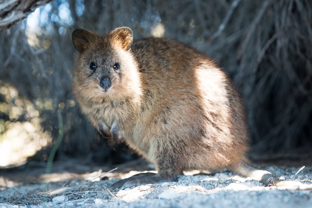 "Quokkas are classified as ""vulnerable,"" according to the International Union For Conservation of Nature. Humans, take note: we can always do something to help keep the world a smilier place."