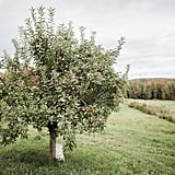 Virgo (Aug. 23 - Sept. 22): Apple Orchards