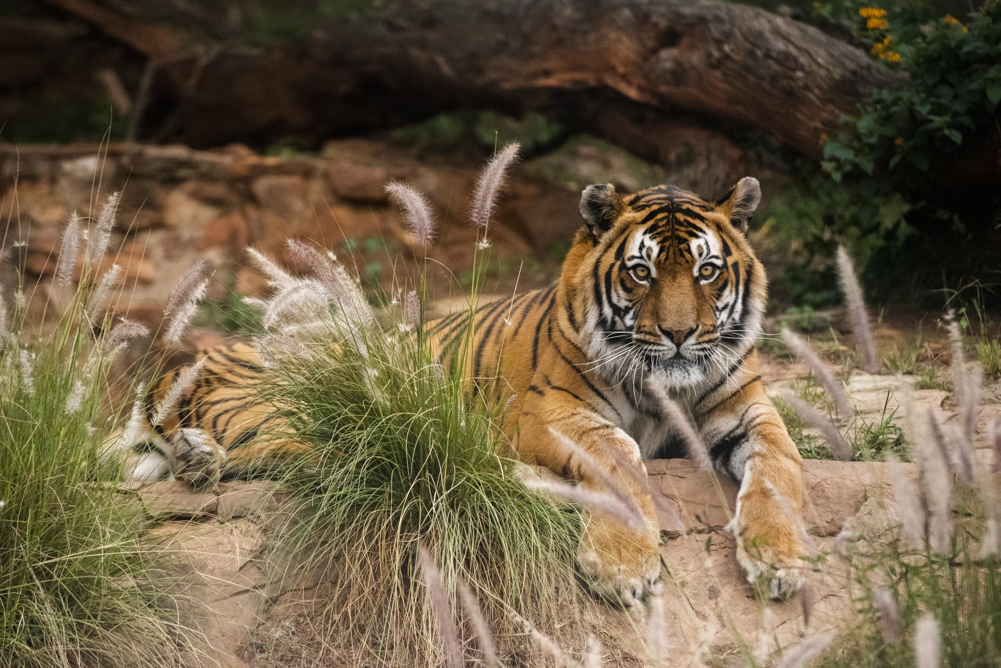 PRETORIA, SOUTH AFRICA - APRIL 02: A general view of the tiger at The National Zoological Gardens of South Africa on Day Seven of National Lockdown on April 02, 2020 in Pretoria, South Africa. According to media reports, President Ramaphosa declared a 21 day national shutdown to try to contain the spread of COVID-19. However, essential services such as the National Zoological Gardens will remain functional with minimum staff. (Photo by Alet Pretorius/Gallo Images via Getty Images)