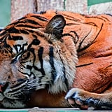 This tiger, who is still terrifying as he sleeps.