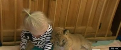 Toddler and Lion Cub Make Strange Bedfellows (VIDEO)