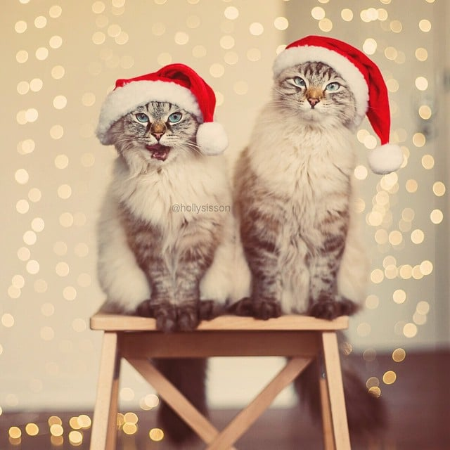 : cats in christmas costumes  - Germanpascual.Com