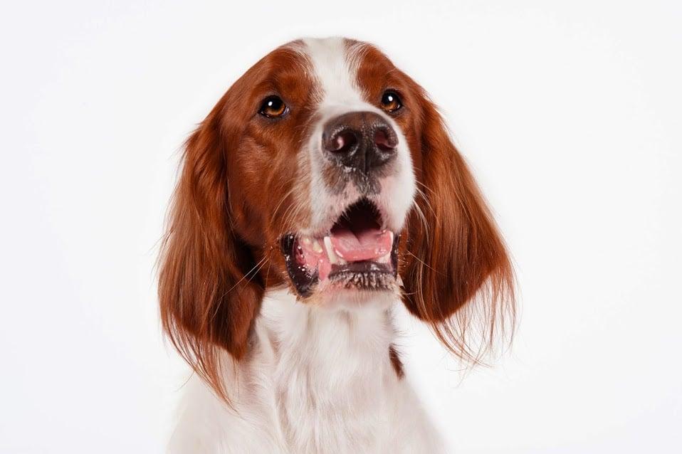 Irish Red And White Setter Irish Dog Breeds Popsugar