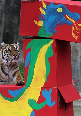 A Dragon Rings in the Year of the Tiger