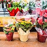 Poinsettias ($3 to $15)