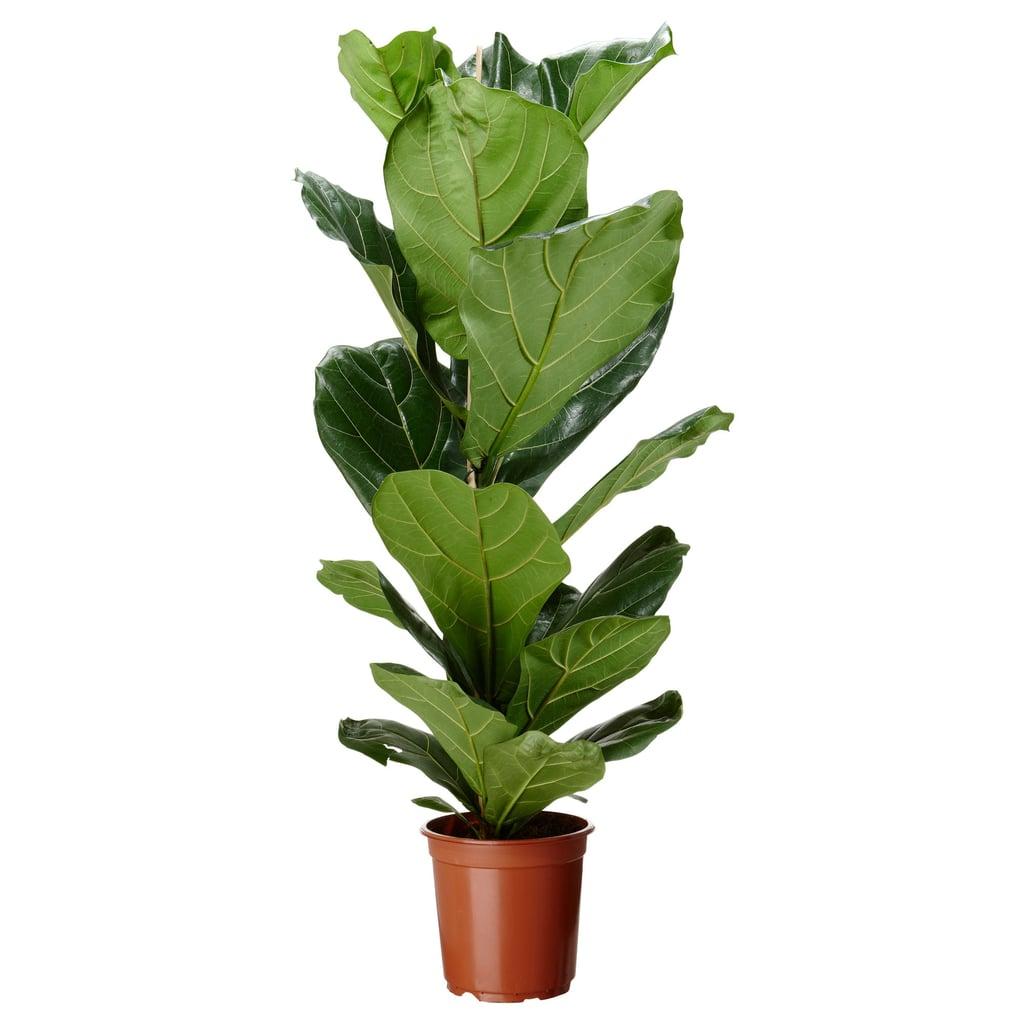 Ficus Lyrata Potted Plant